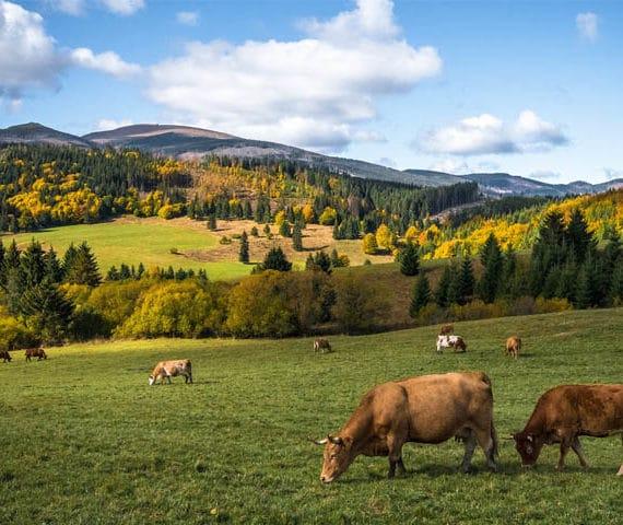 Photo de bovins en face d'une montagne - La Boucherie de Lacanau